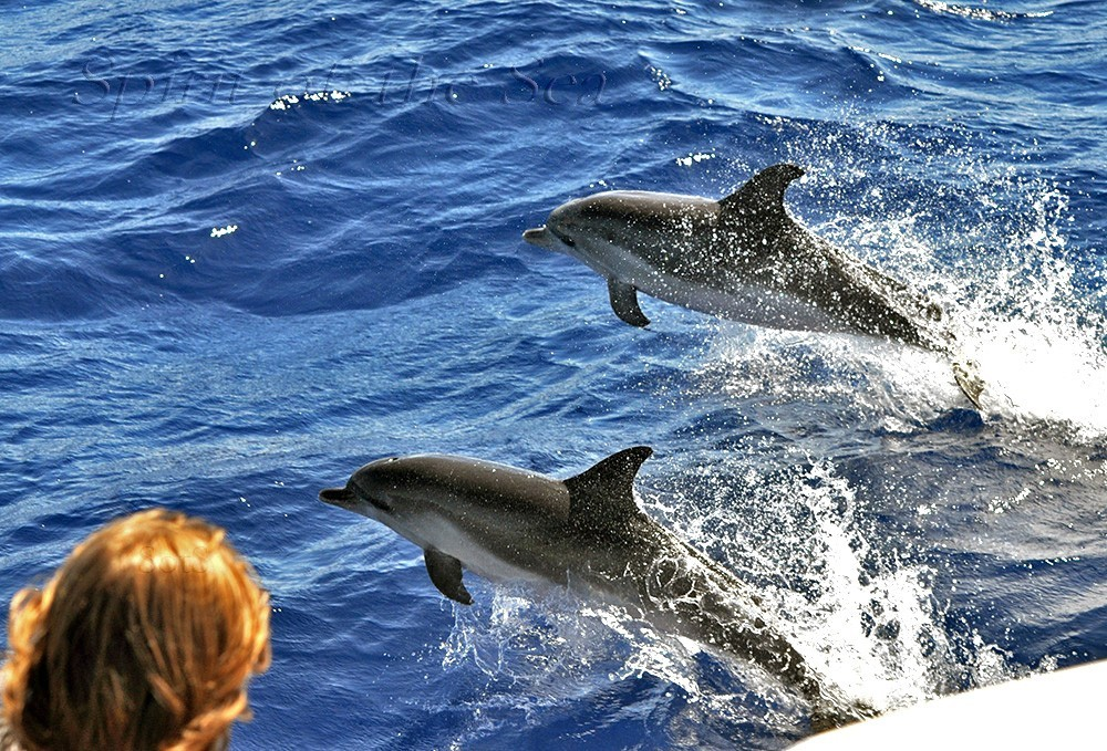 Gran Canaria dolphin and whale watching