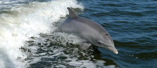 Mayurca Dolphin