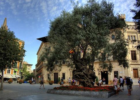 Palma City Xperience Olive tree